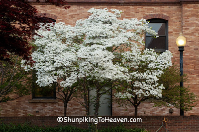 White Dogwood in Bloom, Portsmouth, Ohio