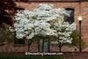 White Dogwood in Bloom, Portsmouth, Ohio