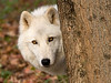 4360_Atka-WCC behind the tree 12x9 for WCC