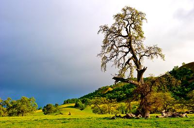 Valley Oak- Williams, CA
