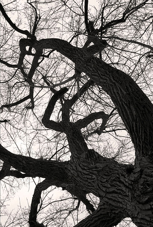 Montreal Tree