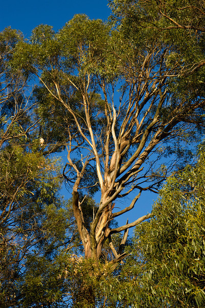 Hawk in eucalyptus tree at Fairmont Ridge.