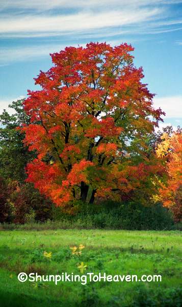 Autumn Maple Tree, Monroe County, Wisconsin