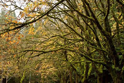 Trees and moss along the Avenue of the Giants.