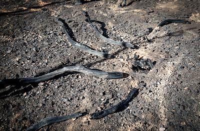 Valley Fire Fallen Manzanita- Cobb, CA