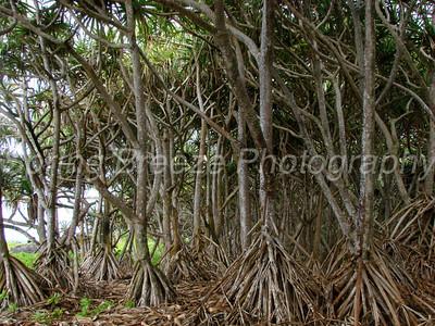 stand of Hala trees Waianapanapa state park  Maui July 2010