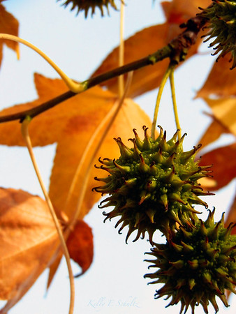 Sweet Gum Tree<br /> Forest Lawn Cemetery<br /> Buffalo, NY<br /> November 2011