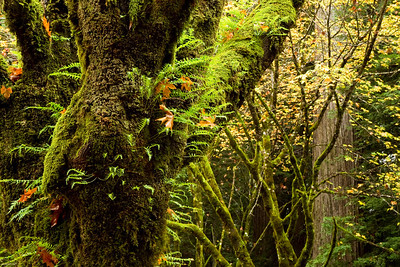 Trees, ferns, and moss along the Avenue of the Giants.