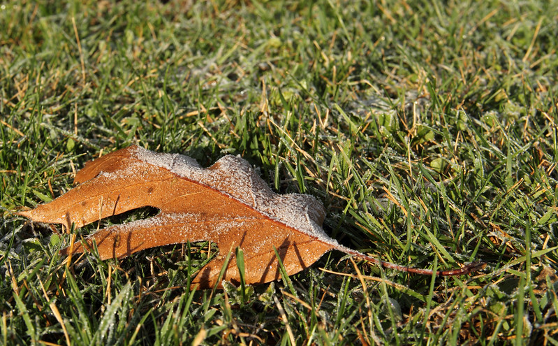 White Frost on Oak Leaf