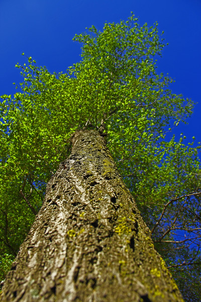 Vertical View of Top of a GreenTree Close from the Trunk