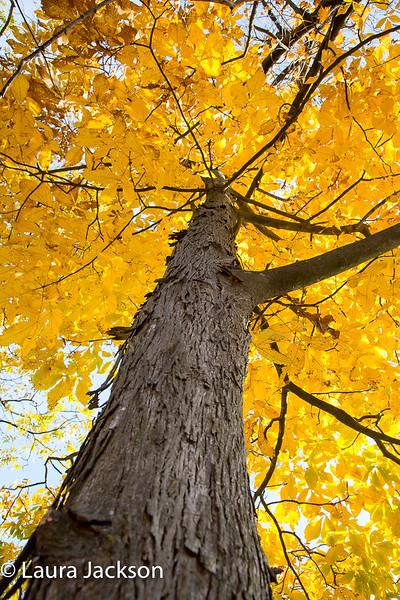 Shaggy Hickory Fall