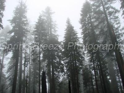 sequoias Yosemite May 2009