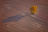 An aerial photo of a very colourful tree in Autumn against a bare ploughed field.