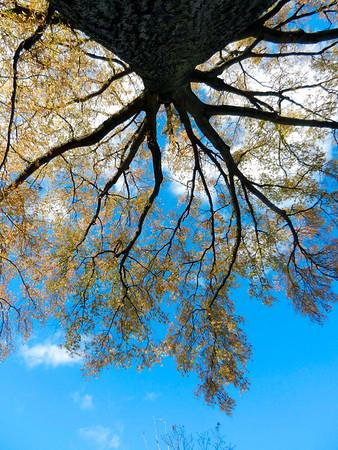 Nashville Tree