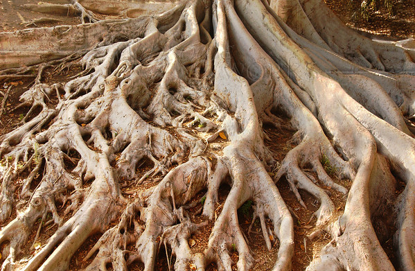 Moreton Bay Fig Roots in Ravine - Balboa Park, CA