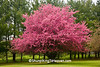 Pink Flowering Crabapple Tree, Juneau County, Wisconsin