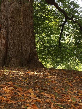 Humongous Tree on Moravian College Grounds, Bethlehem, PA