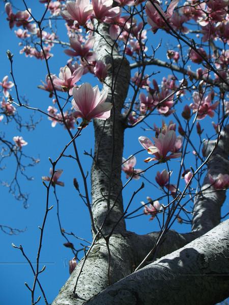Magnolia Trunk & Flowers (Magnolia soulangeana) '07
