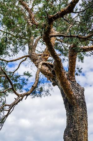 Rural Alberta Tree