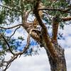 Spirit Tree on Oski Hill , Alberta, Canada