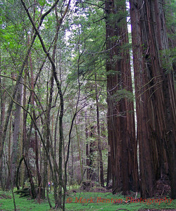 Redwood Stillness
