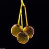 Lindefrukter