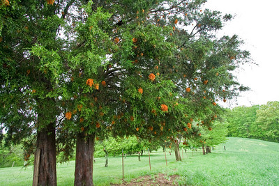 "Evergreen tree with strange orange ""noodly"" things"