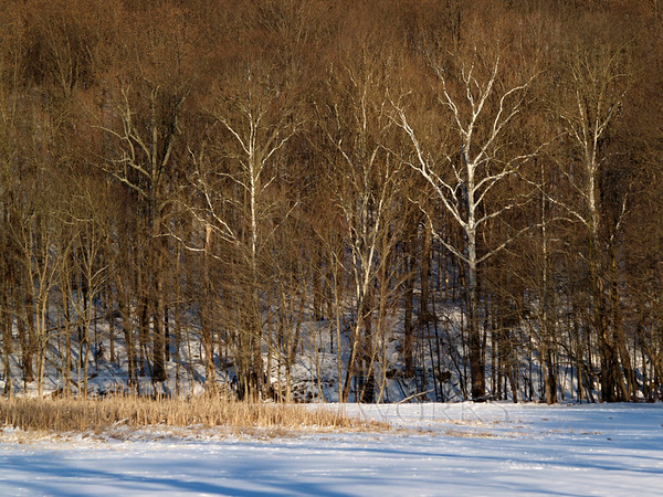 Sycamore with shadows on Slifer Valley Rd. - Springfield Township PA