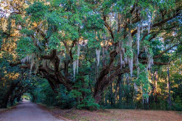 Charleston Mighty Oak