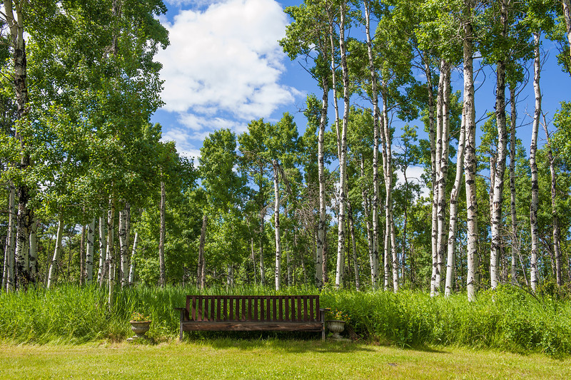 Birch Tree Grove and the Alberta Blue Sky