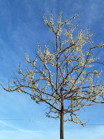 "less common redbud tree w/ white blossoms- (Cercis canadensis ""alba"", or White Eastern Redbud) AKA ""Judas tree"""