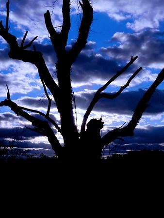 Nashville Tree 1