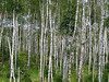 Birch Tree Bunch by Split rock Lighthouse, Northern Minnesota