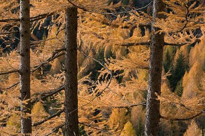 CAV46537 - larici in autunno