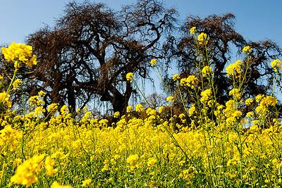 Mustard & Oaks- Napa, CA