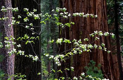 Dogwoods- Calaveras Big Trees, CA