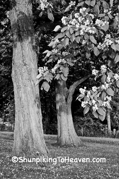 Blooming Catalpa Trees, Rock County, Wisconsin