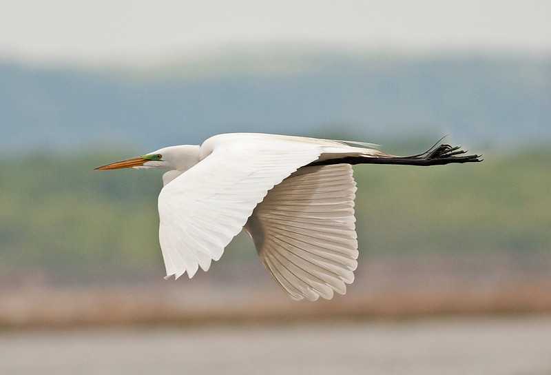 Egret In Flight Crop