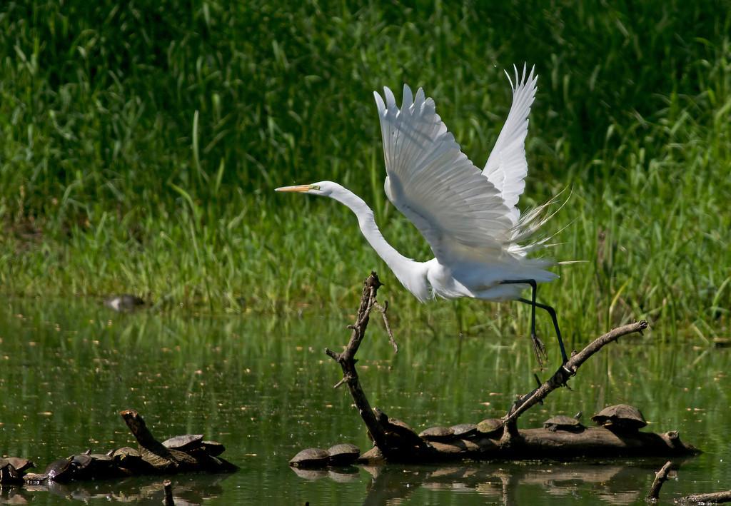 IMAGE: http://www.rtronick.com/Nature/TrempRefuge/i-PrJZhbk/0/XL/MG2800Crop2-XL.jpg