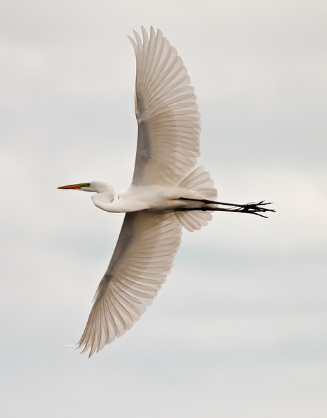 Great Egret Crop