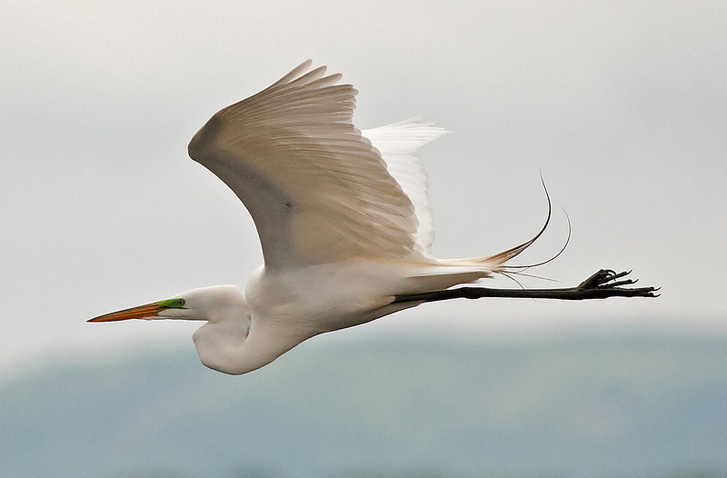 Egret In Flight 2