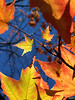 Backlit Sugar Maple Leaves, Autumn