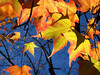 Backlit Sugar Maple Leaves, Autumn
