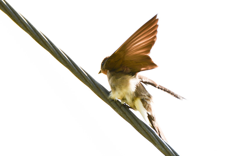 Southern Rough-winged Swallo