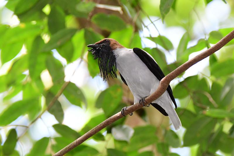 Bearded Bellbird