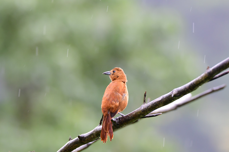 Silver-beaked Tanager - Female