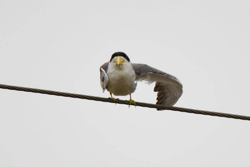 Large-billed Tern