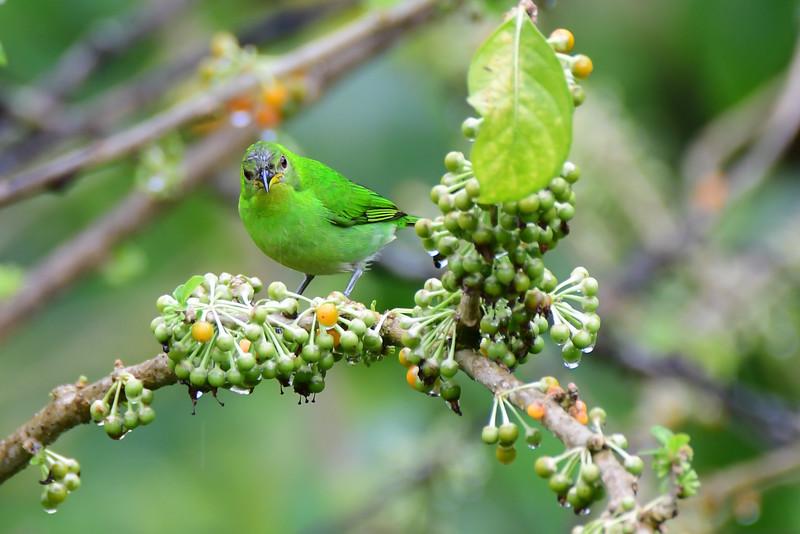 Green Honeycreeper - female