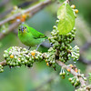 Green Honeycreeper - female