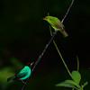 Green Honeycreeper - male & female